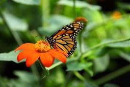 Mariposa Monarca, preservación y cuidado.