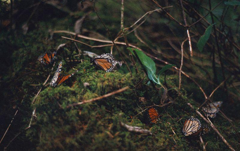 El efecto mariposa, monarcas sin corona, pero con mucho poder. - Mariposas3