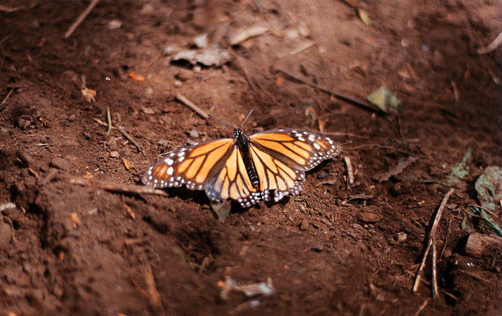 El efecto mariposa, monarcas sin corona, pero con mucho poder. - mariposa4._portadajpg