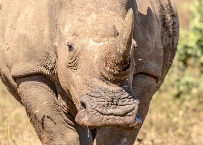 Una esperanza para el rinoceronte blanco del norte - 2-rinoceronte-blanco
