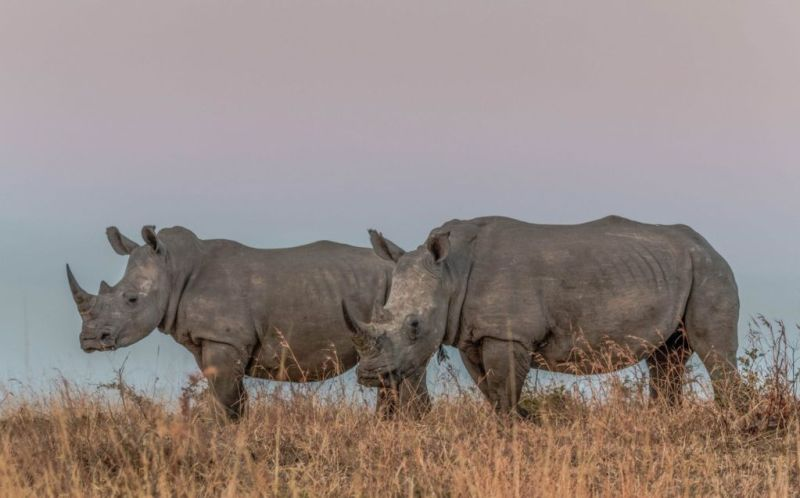 Una esperanza para el rinoceronte blanco del norte - 3-rinoceronte-blanco