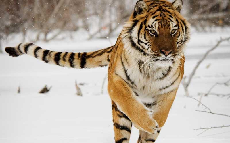 Animales que ya no se encuentran en peligro de extinción - tigre_siberiano