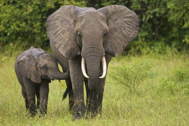 10 cosas que no sabías sobre los elefantes - 10-cosas-que-no-sabias-sobre-los-elefantes-3