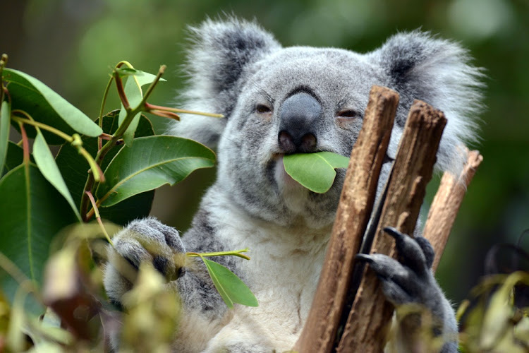 10 datos que probablemente no sabías sobre los koalas - koala-comiendo-hojas-de-eucalipto