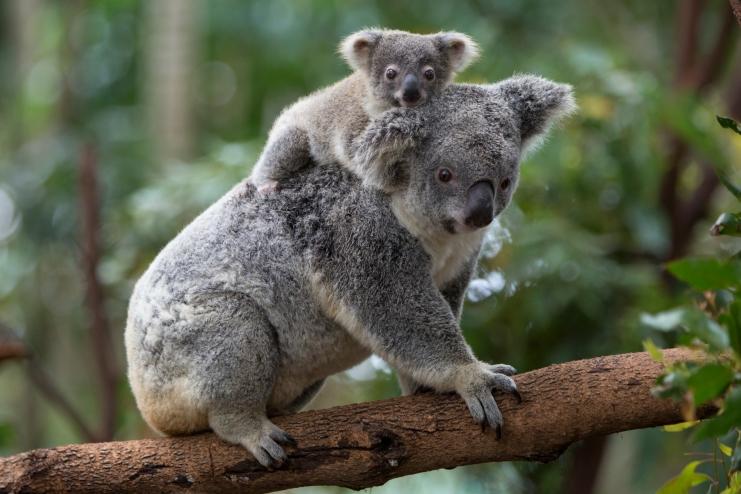 10 datos que probablemente no sabías sobre los koalas - koala-con-bebe