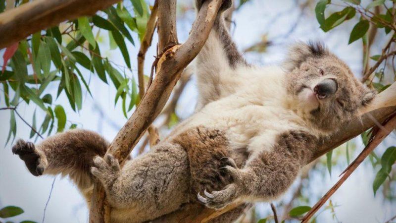10 datos que probablemente no sabías sobre los koalas - koala-descansando-en-un-arbol