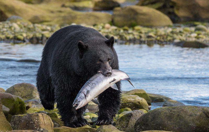 Bestiario Pardo, experiencias en los bosques del pacífico canadiense - oso-vida-animal-salvaje-pescado-comida