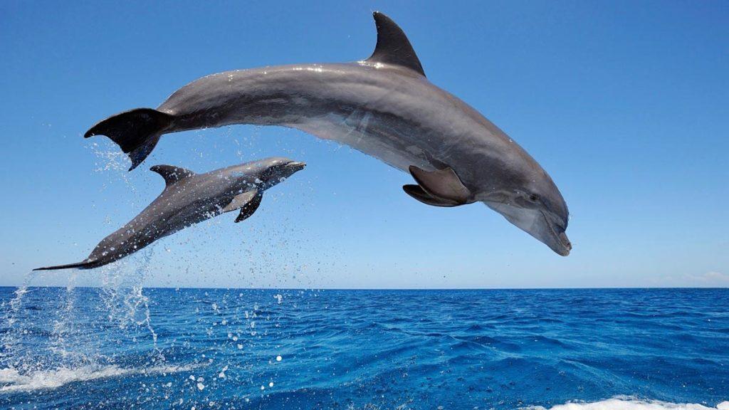Datos curiosos sobre los delfines - Datos curiosos de los delfines Pirtada