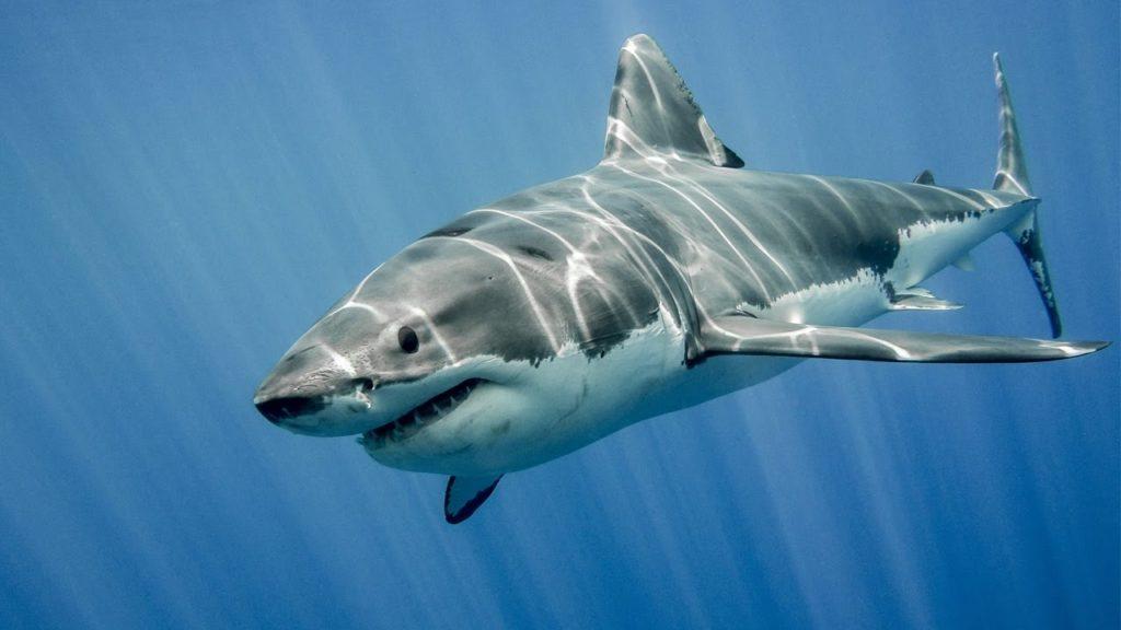 Datos que probablemente no sabías sobre los tiburones - Datos que probablemente no sabías sobre los tiburones portada