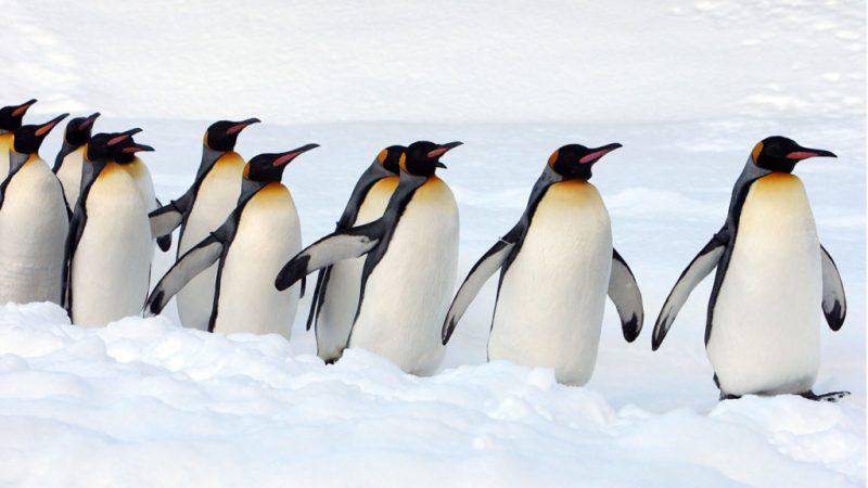 Datos curiosos sobre los pingüinos - hotbook-datos-curiosos-sobre-los-pingucc88inos-3