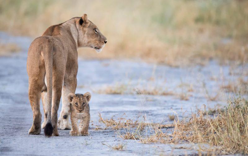 Un recorrido por África - qorokwe-camp-africa-leona-cachorro