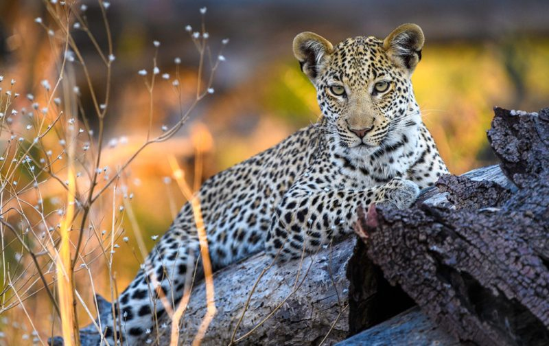 Qorokwe, un destino ideal para disfrutar en pareja - hotbook_hottravel_hothoneymoon_qorokwe_leopard_wildlife