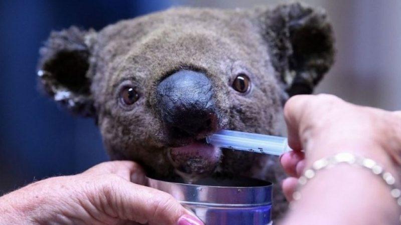 8 asociaciones a las que puedes donar para ayudar a Australia - australia-koala