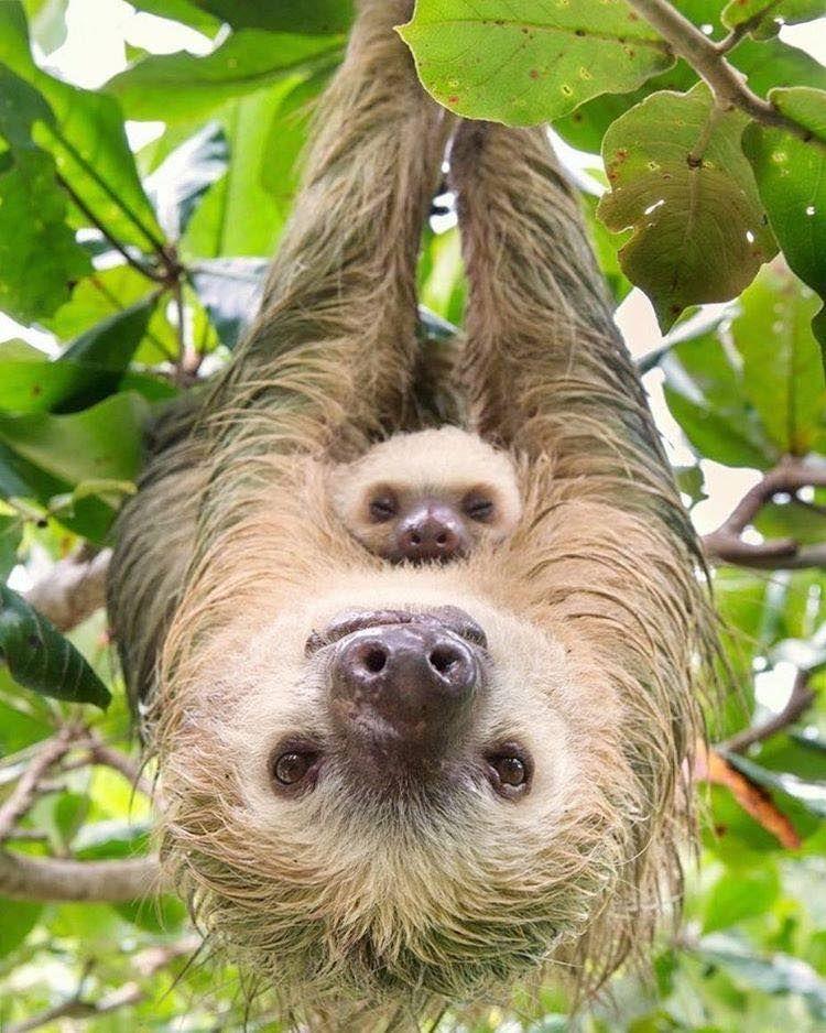15 fotos que representan el cariño de mamá en la naturaleza - foto-oso-perezoso-fotos-que-representan-el-carincc83o-de-mama-en-la-naturaleza-zoom-dia-de-las-madres-10-de-mayo-coronavirus