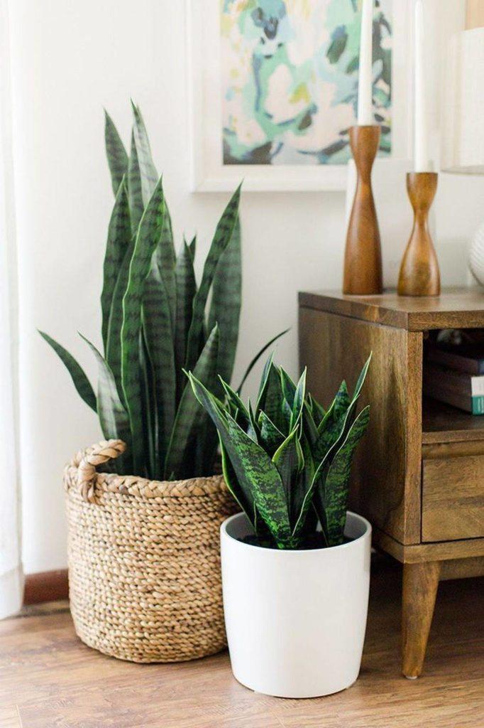Go green! Plantas para tener un imperdible jardín interior - link-sanseviera-plantas-para-tener-un-imperdible-jardin-interior
