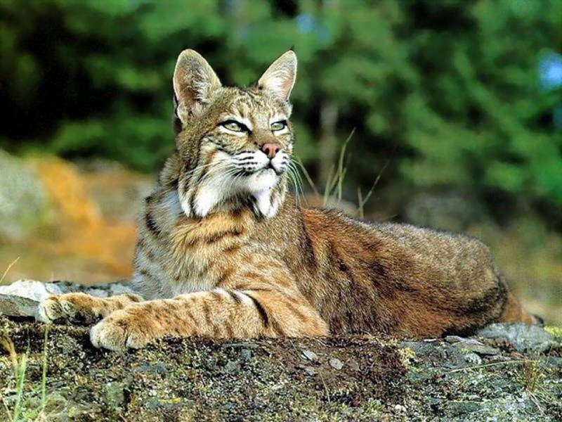Animales endémicos de México - animales-endemicos-de-mexico-gato-montes-mexicano
