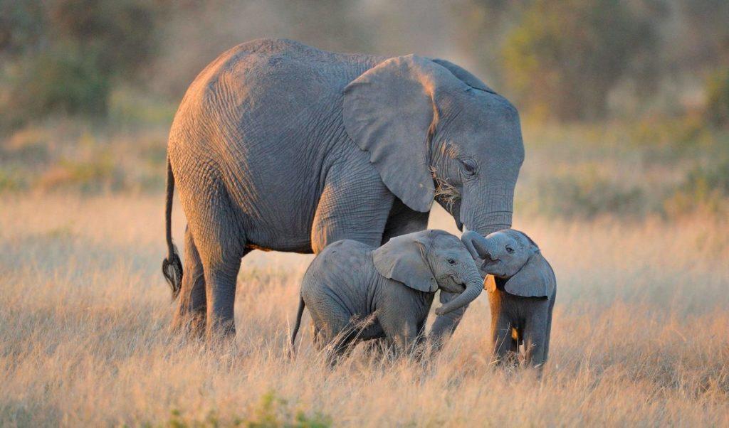 10 cosas que no sabías sobre los elefantes
