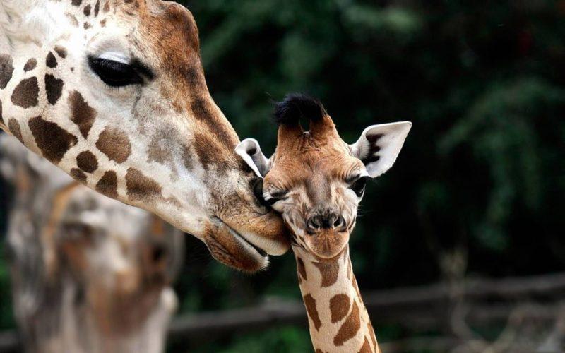 15 fotos que representan el cariño de mamá en la naturaleza - foto-jirafa-fotos-que-representan-el-carincc83o-de-mama-en-la-naturaleza-zoom-dia-de-las-madres-10-de-mayo-coronavirus