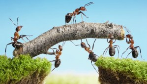 Ants-holding-stick-over-chasm-another-ant-walks-across-on-stick