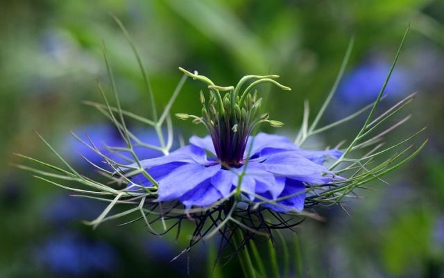 Nigella damascena