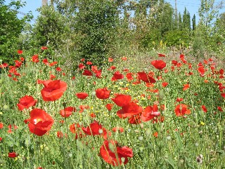 Arlington GArden red poppies hot garden