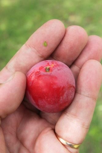An organic plum