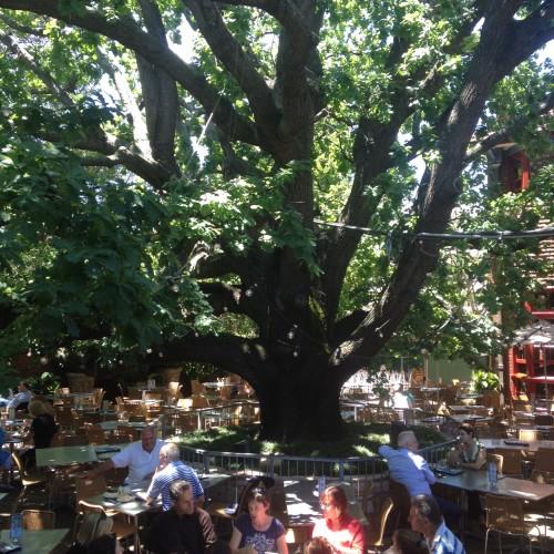The Oaks, oak tree