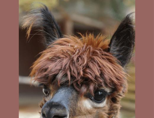 alpacas and google art & culture