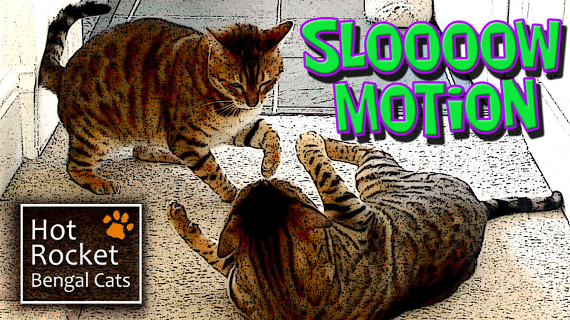 Bengal cats in slow motion