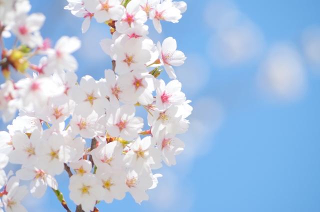 桜 開花 予想