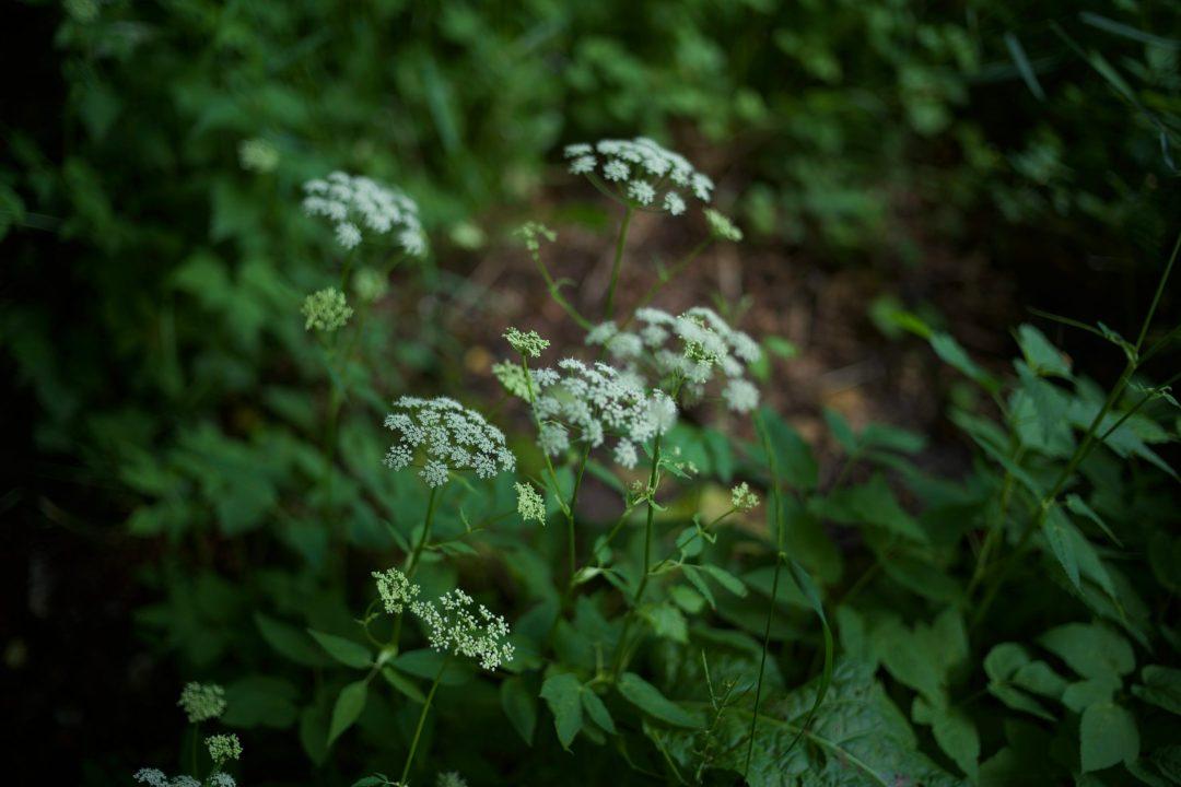 Quelques fleurs dans un sous bois des Bauges