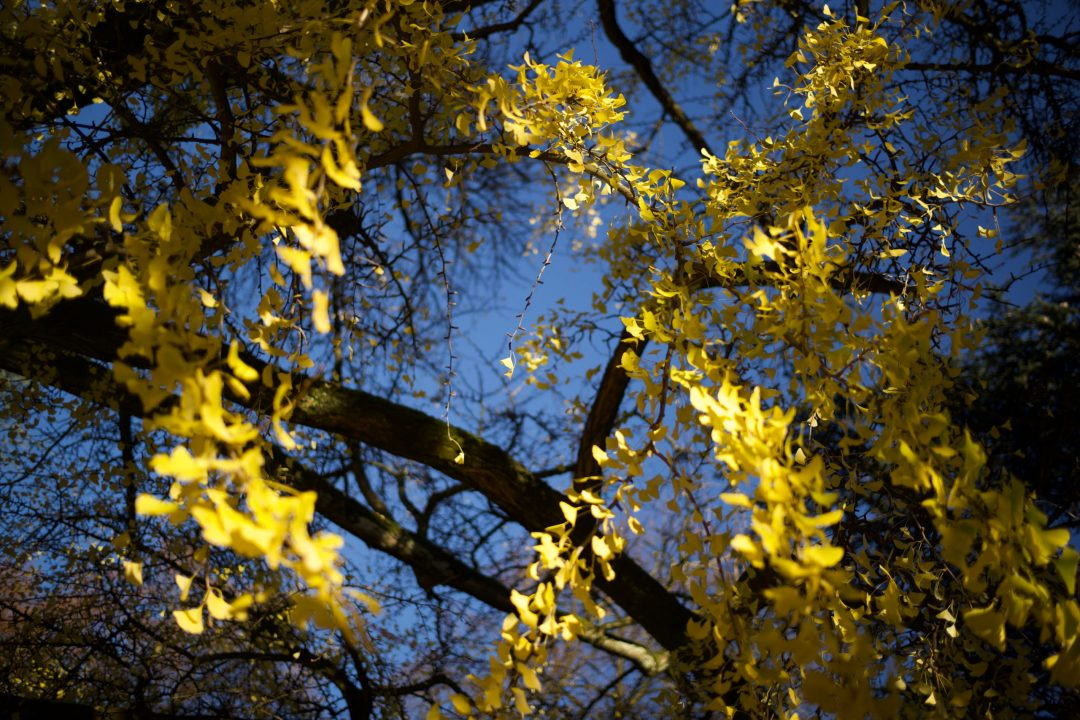 Arbre en automne à Annecy