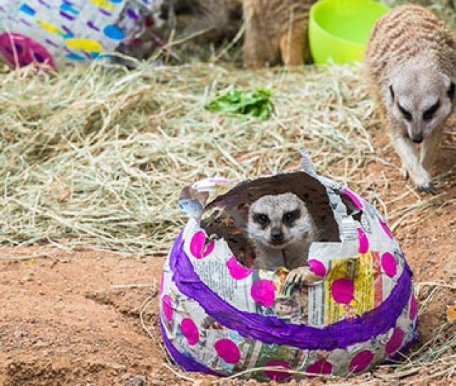 Easter Enrichment Meerkat In Egg