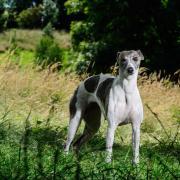 Whippet | Dog Photoshoot