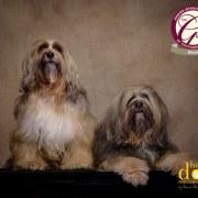 dog photographer tibetan terrier association