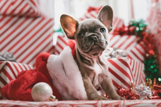 Are You Ready for a Puppy this Christmas? French Bulldog in a Christmas stocking with presents in the background.