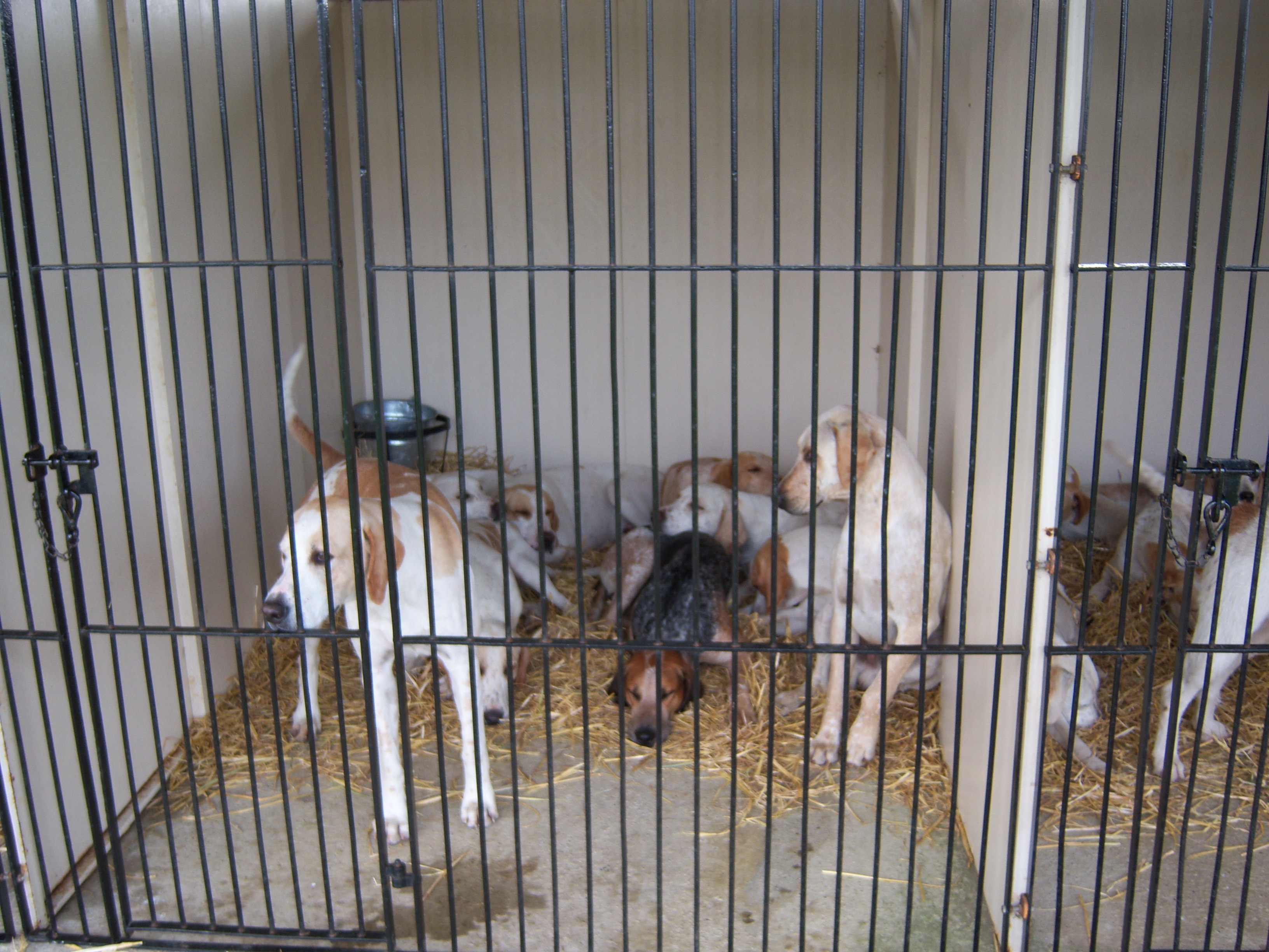 The Beaufort hounds, including the show's top dog, were relaxed in their kennel on the showgrounds