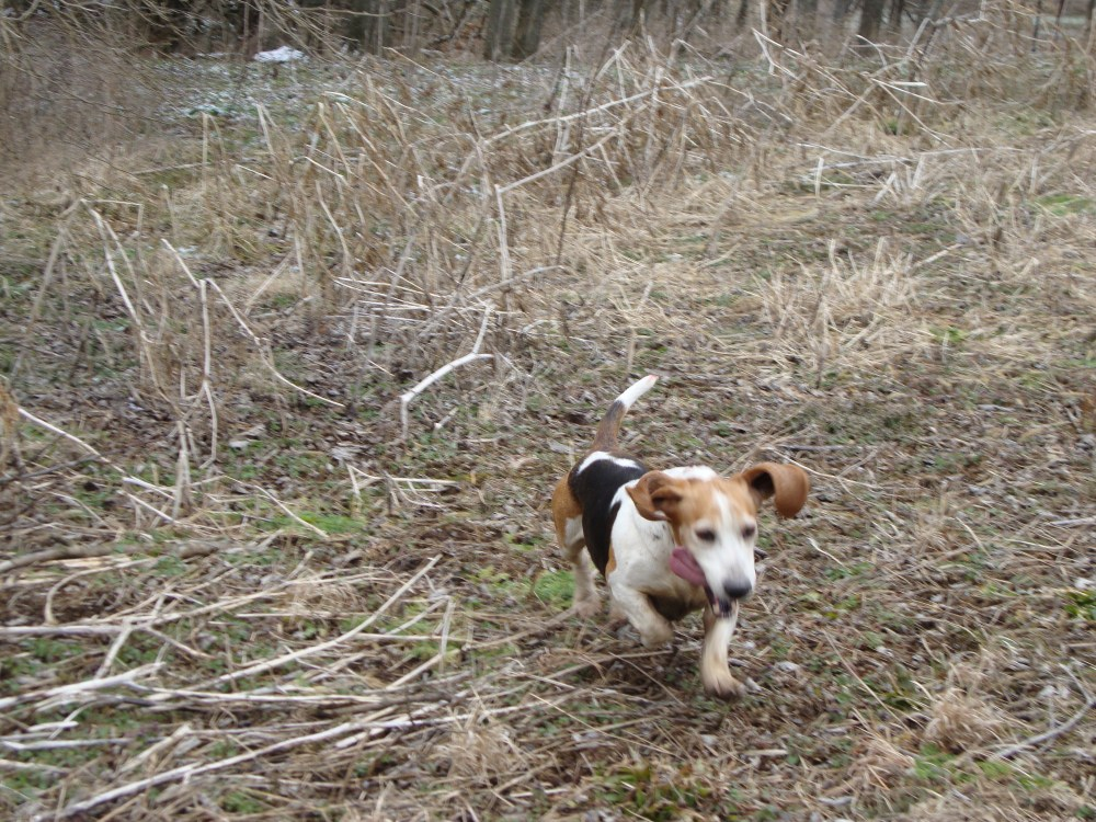 Beagles, bassets, and dozens of running bunnies (with two videos!) (3/4)