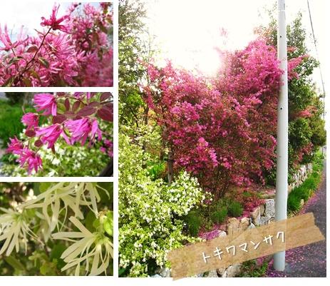 おすすめの植物 : トキワマンサク