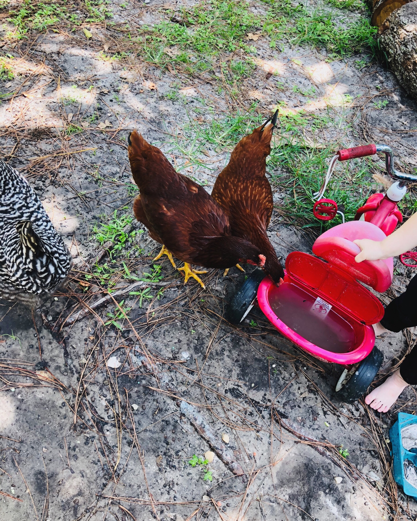 Free Range Chickens (mostly)