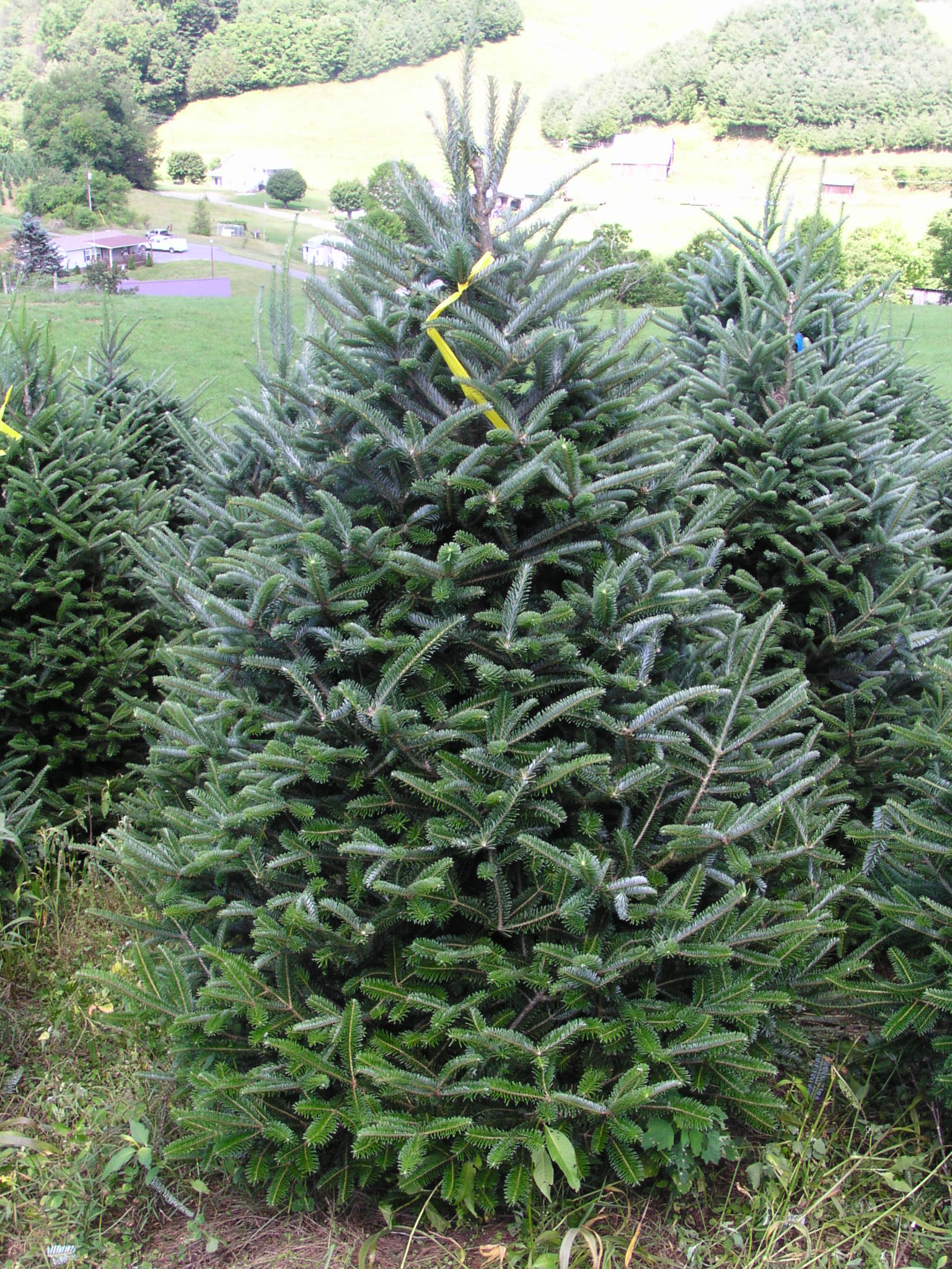 10 Types of Christmas Trees That Really Smell Authentic