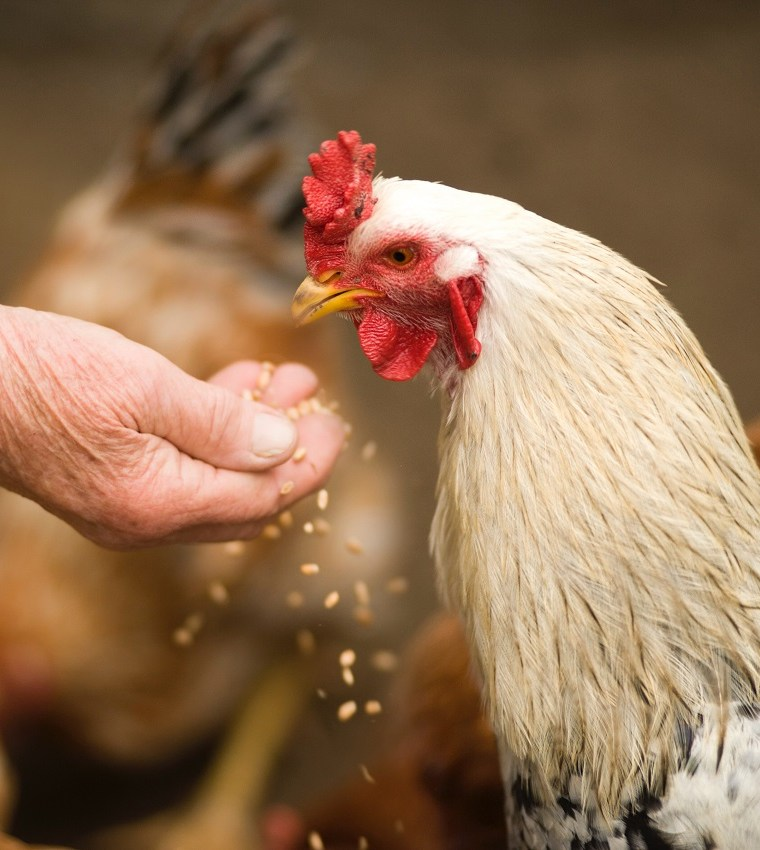 Why Chickens are a Great Start for Any Homestead