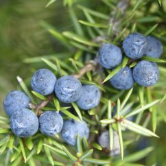 Sofa Set Designs With Storage Abbie Navy How To Grow Your Own Gin At Home - Juniper Berries