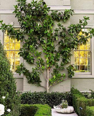 Espaliered magnolia