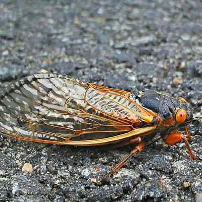 Every 17 Years, They Come, They Chirp, They Leave: Brood II Cicadas
