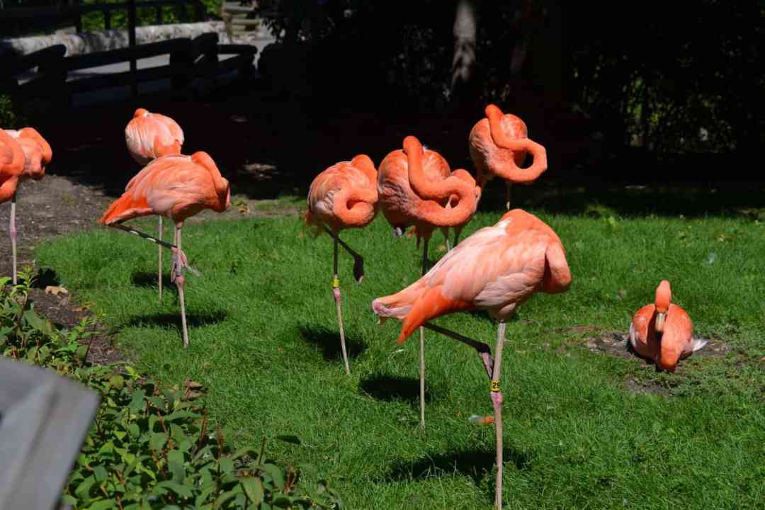 Milwaukee County Zoo Flamingos