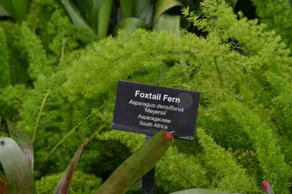 Homeschool-GPC-Foxtail-Fern