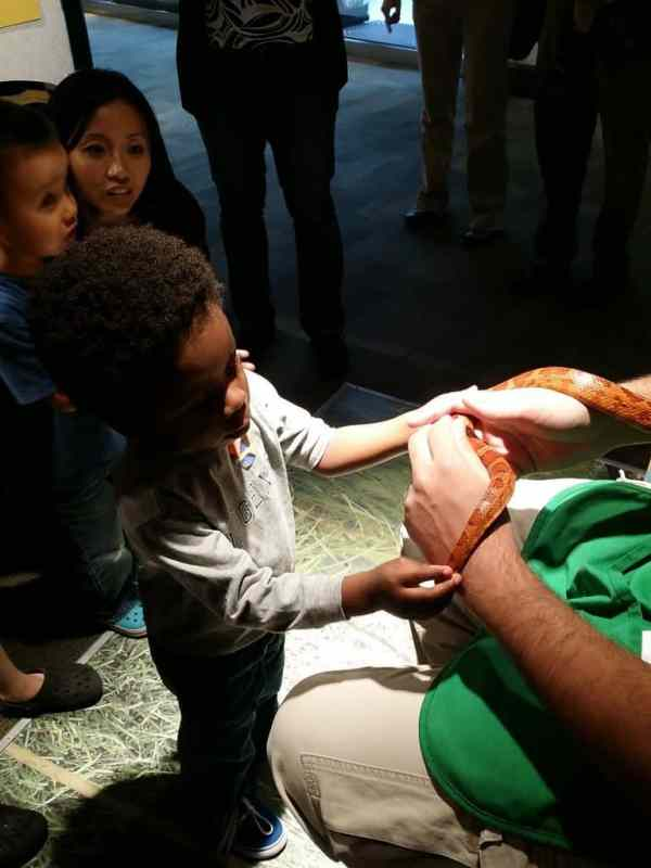 Exlporing a Corn Snake at Peggy Notebaert Nature Museum - HFON