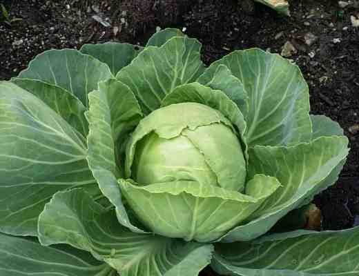 Cabbage Head growing in the backyard garden of the Nicholes.
