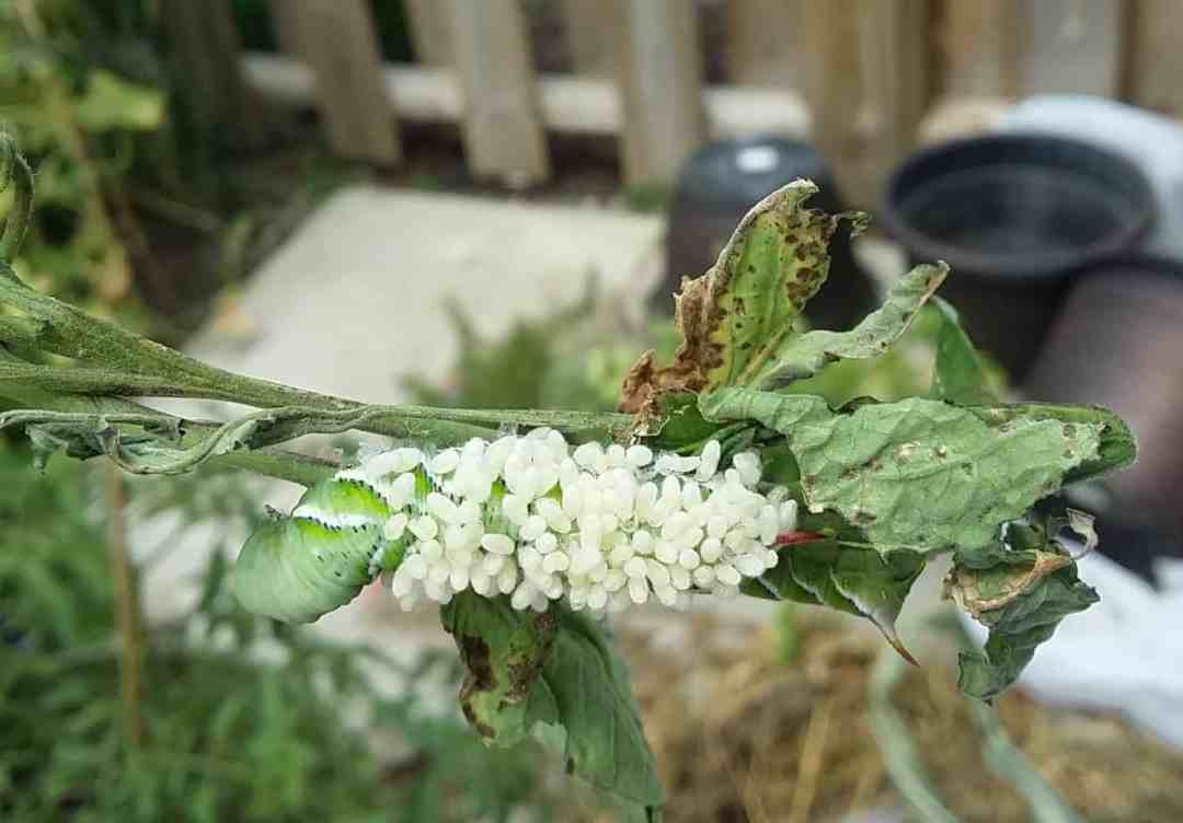 Tomato hornworms infected with braconid wasps